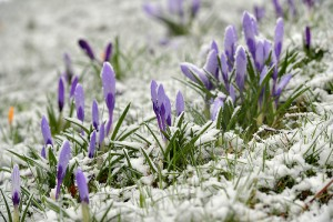 February 28, 2017 - Tameside, Greater Manchester, United Kingdom - Image ©Licensed to i-Images Picture Agency. 28/02/2017. Snowfall in Manchester, United Kingdom. .Snow covers the buds of early spring flowers in Cheetham's Park as heavy snow falls in Stalybridge, Greater Manchester. Picture by Anthony Devlin / i-Images (Credit Image: Global Look Press via ZUMA Press)